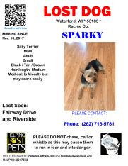 111317 Sparky Silky Terrier Adult