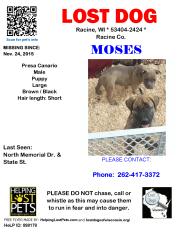 112415 Moses Presa Canario Puppy